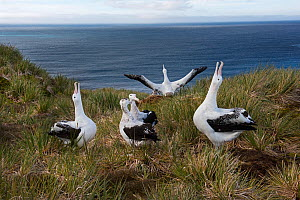 Wandering albatross (Diomeda exulans) displaying on Albatross Island, Bay of Isles, South Georgia.  -  David Tipling