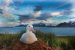 Wandering albatross (Diomeda exulans) incubating egg on nest on Albatross Island, Bay of Isles, South Georgia  -  David Tipling