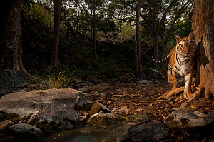 Bengal tiger (Panthera tigris tigris) in forest clearing. Camera trap image. Pench National Park, Madhya Pradesh, India. January 2018.  -  Nayan Khanolkar