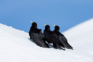 Alpine chough (Pyrrhocorax graculus) group of three in snow, Karwendel, Alps, Upper Bavaria, Germany. April  -  Konrad  Wothe