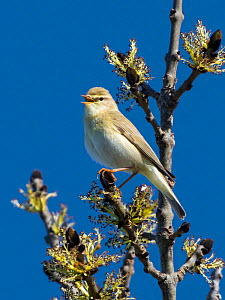Willow warbler (Phylloscopus trochilus) singing, Bavaria, Germany. April  -  Konrad  Wothe
