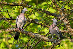 Wood pigeons (Columba palumbus) pair, Germany. April - Konrad  Wothe