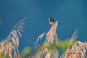 Bluethroat (Luscinia svecica) male singing, Upper Bavaria, Germany. April - Konrad  Wothe