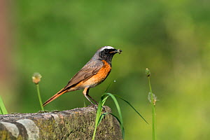 Redstart (Phoenicurus phoenicurus) male, Germany. May - Konrad  Wothe