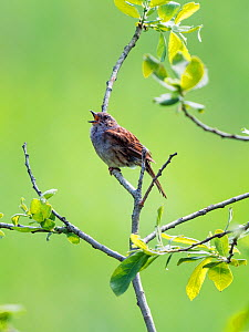 Dunnock (Prunella modularis) singing, Bavaria, Germany. June  -  Konrad  Wothe