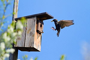 Starling (Sturnus vulgaris) at nestbox in garden, Bavaria, Germany . April  -  Konrad  Wothe