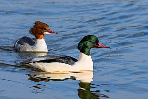 Goosander (Mergus merganser) male and female, Upper Bavaria, Germany. January  -  Konrad  Wothe