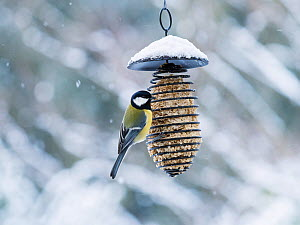 Great tit (Parus major) at feeder, Parus major, Bavaria, Germany. January  -  Konrad  Wothe