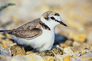Plover (Charadrius alexandrinus) on nest, Camargue, France, Europe. February  -  Konrad  Wothe