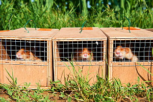 Common Hamsters (Cricetus cricetus) in cages ready for release in a wheat field. Geispolsheim, Alsace, France, June 2018 - Eric Baccega