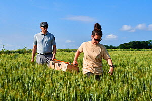 Scientists from the French Wildlife Department (ONCFS) with cages of Common hamsters (Cricetus cricetus) in a wheat field for release, Geispolsheim, Alsace, France, June 2018 - Eric Baccega