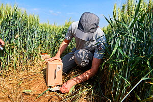 Scientist from the ONCFS (National Office for Hunting and Wildlife) releasing Black-bellied hamsters (Cricetus cricetus) in a wheat field. Geispolsheim, Alsace, France, June 2018. - Eric Baccega