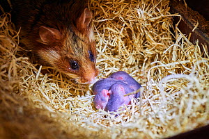 Female common hamster (Cricetus cricetus) with her newborn babies, age 3 days, Alsace, France, captive - Eric Baccega