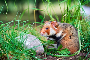Common hamster (Cricetus cricetus), Alsace, France, June, captive - Eric Baccega