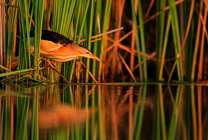 RF - Little bittern, (Ixobrychus minutus), hunting in reeds, Bulgaria  -  Andy Rouse