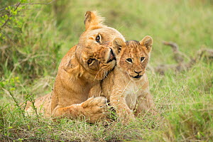 RF - African Lion, (Panthera leo), female with cub, Masai Mara, Kenya, Africa,  -  Andy Rouse