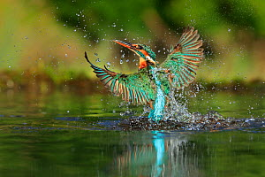 RF - Kingfisher, (Alcedo atthis), diving for fish, UK - Andy Rouse