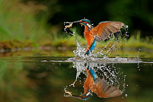 Kingfisher, (Alcedo atthis), diving for fish, UK - Andy Rouse