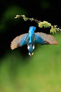 Kingfisher, (Alcedo atthis), diving for fish from branch, UK, Medium repro only  -  Andy Rouse