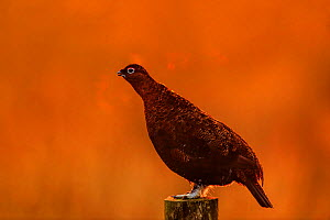Red Grouse, (Lagopus lagopus), on post at sunrise, Yorkshire, UK - Andy Rouse