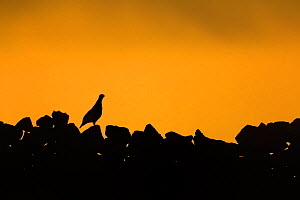 Red Grouse, (Lagopus lagopus), on wall at sunrise, Yorkshire, UK - Andy Rouse