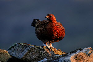 Red Grouse, (Lagopus lagopus), on wall, Yorkshire, UK - Andy Rouse