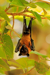 Indian Flying Fox , (Pteropus giganteus), roosting, India  -  Andy Rouse