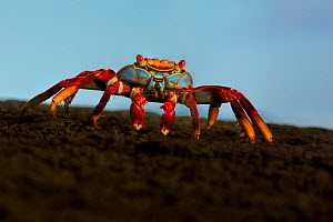 Sally lightfoot crab, (Grapsus grapsus), at sunrise, Galapagos - Andy Rouse