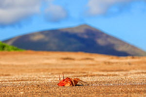 Galapagos Ghost Crab, (Ocypode gaudichaudii), emerging from burrow with volcano in background Galapagos  -  Andy Rouse