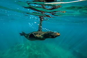 Galapagos sea lion, (Zalophus wollebaeki), swimming upside down, Galapagos  -  Andy Rouse