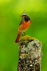 Redstart , (Phoenicurus phoenicurus) male with food for young, UK - Andy Rouse