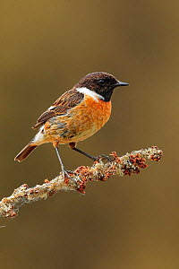 Male Stonechat, (Saxicola rubicola), on perch, UK - Andy Rouse
