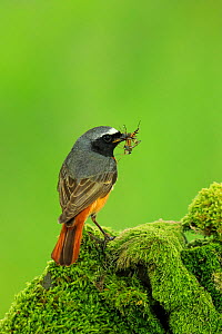 Male Redstart , (Phoenicurus phoenicurus), with food for young, UK - Andy Rouse