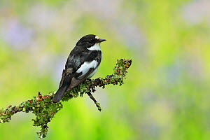 Pied Flycatcher , (Ficedula hypoleuca), male with food for young, UK  -  Andy Rouse
