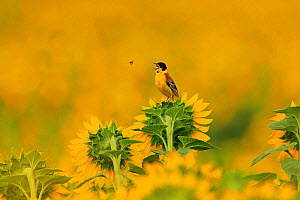 Black headed bunting, (Emberiza melanocephala), catching flies on sunflower crop, Bulgaria, June.  -  Andy Rouse