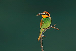 Eurasian bee-eater, (Merops apiaster), with bee prey, Bulgaria, June. - Andy Rouse
