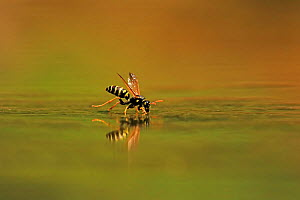 European Paper Wasp, (Polistes dominula), drinking, Bulgaria, June.  -  Andy Rouse