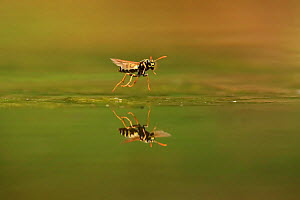 European Paper Wasp, (Polistes dominula), taking off after drinking, Bulgaria, June.  -  Andy Rouse