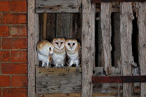 Barn owl, (Tyto alba), young in nest about to fledge, UK. - Andy Rouse