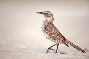 Espanola mockingbird, (Mimus macdonaldi), on beach, Galapagos  -  Andy Rouse