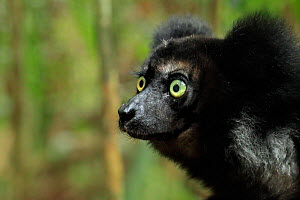 Indri Lemur, (Indri indri), in rainforest, Perinet, Madagascar - Andy Rouse