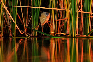 Little bittern, (Ixobrychus minutus), hunting in reeds, Bulgaria, June.  -  Andy Rouse