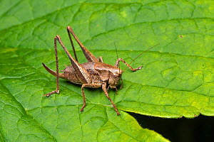Dark bush cricket (Pholidoptera griseoaptera) female, Whitelye, Monmouthshire, Wales, UK  -  Chris Mattison