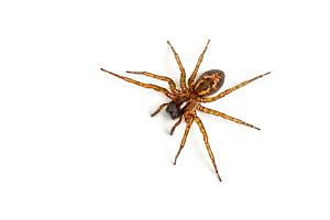 Lace-web spider (Amaurobius similis) a spider associated with human dwellings, Catbrook, Monmouthshire, Wales, UK, December. - Chris Mattison