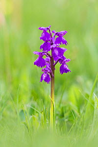 Green winged orchid (Anacamptis morio) typical form. Monmouthshire, Wales, UK, May  -  Chris Mattison