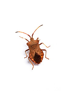 Dock bug (Coreus marginatus) Monmouthshire, Wales, UK  -  Chris Mattison