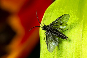 Solomon's seal sawfly (Phymatocera aterrima) on Solomon's Seal leaf. Monmouthshire, May.  -  Chris Mattison