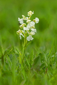 Green winged orchid (Anacamptis morio) pure white form. Monmouthshire, Wales, UK, May  -  Chris Mattison