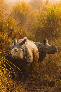 Indian rhinoceros (Rhinoceros unicornis) in grassland, female and juvenile, Kaziranga National Park, Assam, India.  -  Sandesh  Kadur