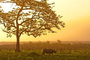 Indian rhinoceros (Rhinoceros unicornis) with Cotton tree (Bombax ceiba) at sunrise, Kaziranga National Park, Assam, India. - Sandesh  Kadur